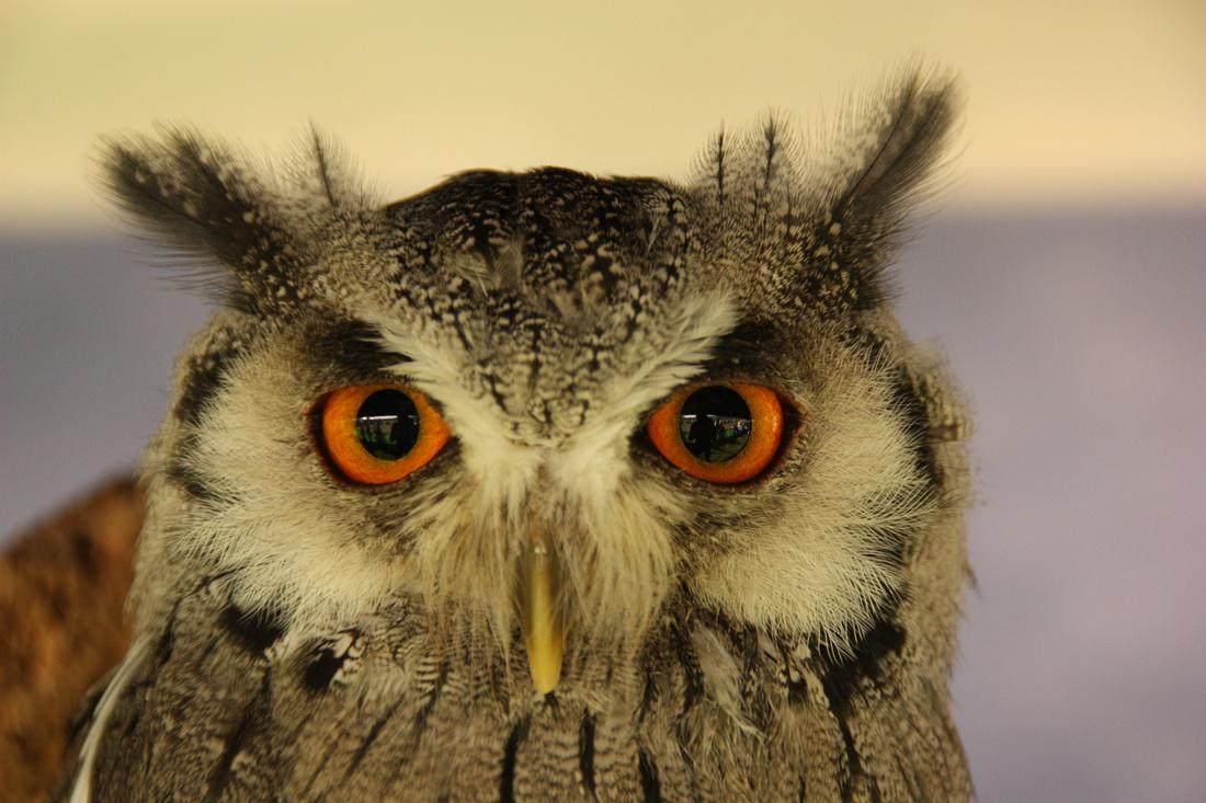 WHITE FACED SCOPS OWL.